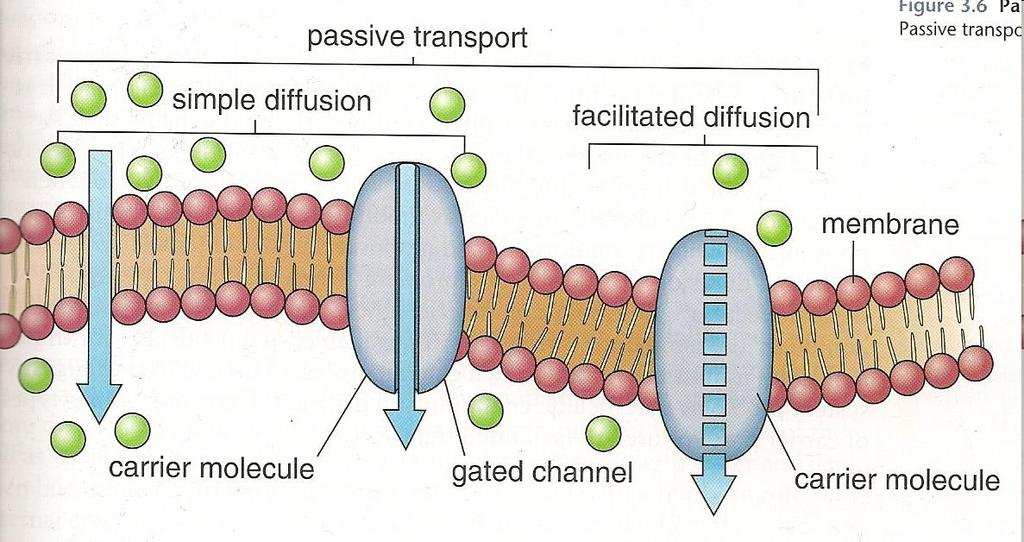 Passive Transport Membrane diffusion relies on the fact that certain particles can pass through a membrane. Why?