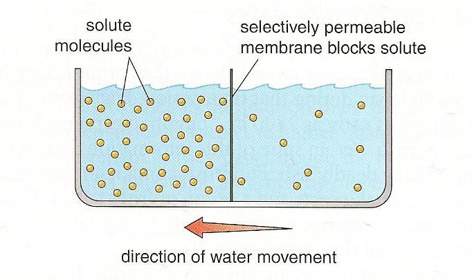 Passive Transport Osmosis: the