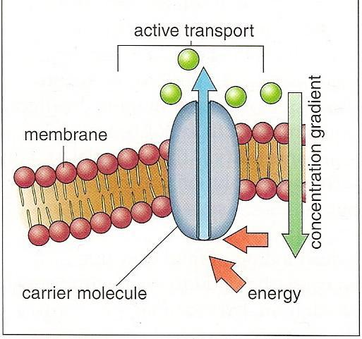 Active Transport Active transport pumping: an energyconsuming process where a cell moves ions and molecules across its membrane.
