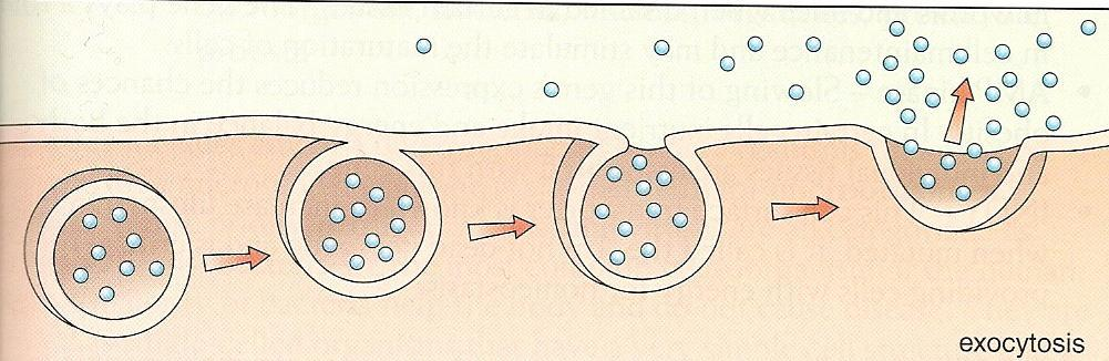 Active Transport Exocytosis: removes large amounts of molecules OUT of the