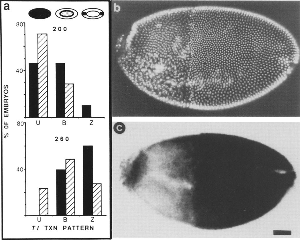 The irradiated embryos were therefore significantly delayed both in the degradation of maternal T1 transcript and the initiation of zygotic T1 transcription.