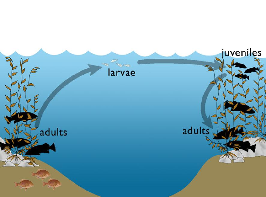 Bipartite life cycle of benthic