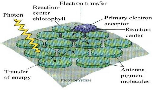 Reaction center: consists of two chlorophyll a molecules, which donate the electrons to the primary electron acceptor.