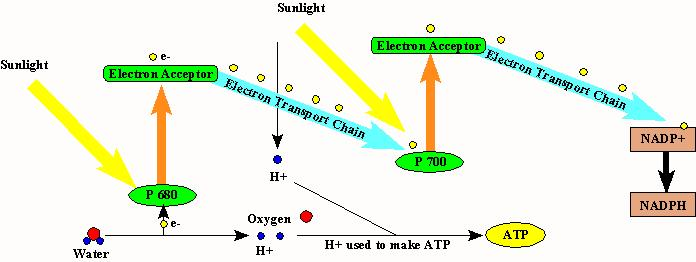 Cyclic Electron Flow This type of electron flow uses PS I only. It uses a short circuit of linear electron flow by cycling the excited electrons back to their original starting point in PS I.