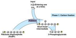 The Long Version 1) Three CO 2 molecules are attached to three molecules of the 5-carbon sugar ribulose biphosphate (RuBP).