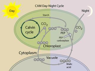 Photosynthesis Summary Light reactions Produced ATP, NADPH, and O 2 Consumed H 2 O Calvin cycle Produced G3P (sugar) Regenerated ADP and NADP Consumed CO 2 ALTERNATIVES Evolution of Alternative