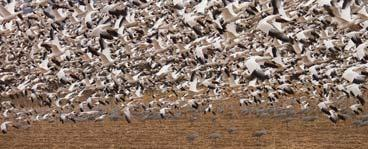 Random dispersion Fig. 5-10, p. 111 Population of Snow Geese Generalized Dispersion Patterns Fig.