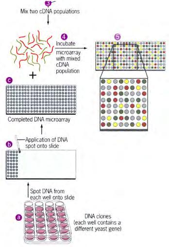 Computer-assisted search for enhancers Graphic representation of the conservation of DNA sequences within a corresponding region in five different genomes reveals a