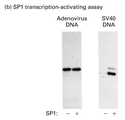 In vitro transcription assay to measure Sp1 activity The adenovirus DNA template used here does not contain any Sp1-binding sites (GC-box) and is therefore used as a negative control.