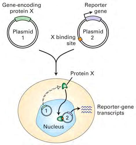 Purified Sp1 is added to the reactions indicated with +. In vivo assay for transcription factor activity Host cells should lack the gene encoding protein X and the reporter protein.