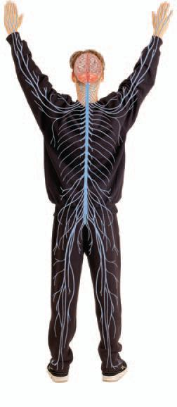 Organ Systems con t Nervous system detects