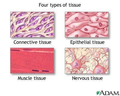 Cells Tissues Organs Organ Systems The next largest unit of organization is tissues.