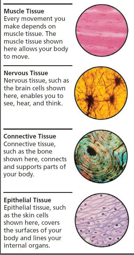 Human Body contains 4 basic types of tissues 1. Muscle contract or shorten so your body can move. 2. Nervous carries electrical messages from the brain to other parts of the body.