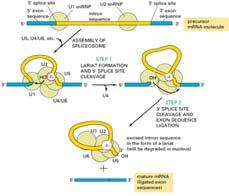 Splicing mechanism Splicing must be very precise, or frameshift errors will lead to nonsense proteins.