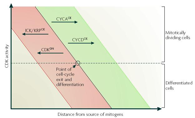 Model for Control of Cell Differentiation: Cell Cycle for Cells Flanks of the Meristem that do not Divide Threshold of CDK Activity above a specific amount cells stay in