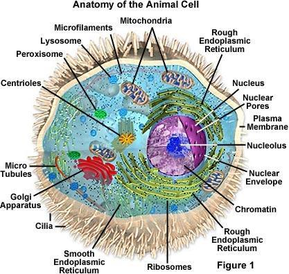 Biology 13A Lab #3: Cells and Tissues Lab #3 Table of Contents: Expected Learning Outcomes.... 28 Introduction...... 28 Activity 1: Eukaryotic Cell Structure.