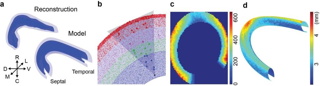 A Three-Dimensional Model of the Rat Dentate Gyrus Collaborators: Calvin J.