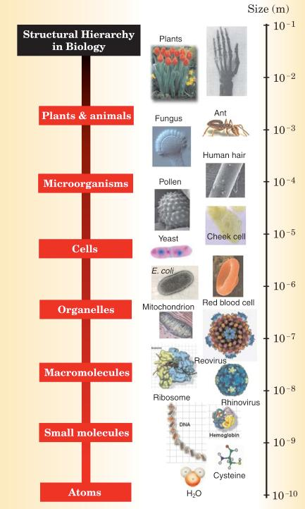 Biological Structure In what ways does nature organize? (Phenomenology) How does it organize?