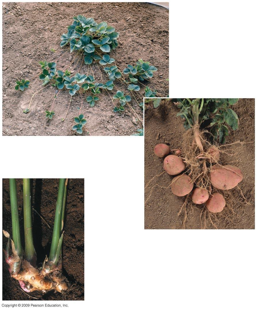 Strawberry plant Potato plant Stolon