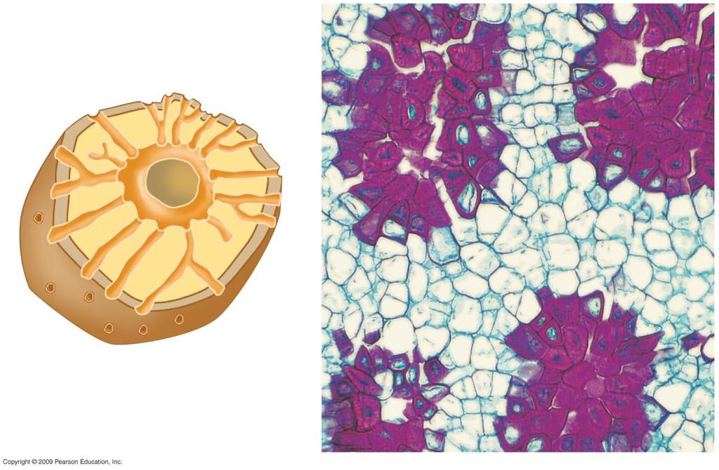 Secondary cell wall Sclereid