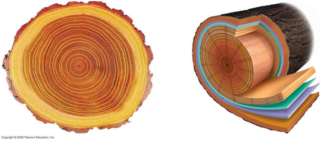 Sapwood Rings Wood rays Heartwood Sapwood Vascular