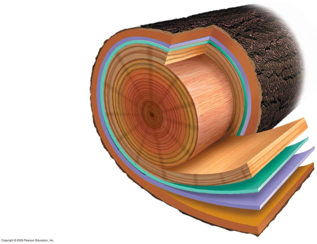 Rings Wood rays Heartwood Sapwood Vascular