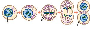 102. Name 2 things that occur in Early Prophase I. 103. Name 3 things that happen in Late prophase I. 104.