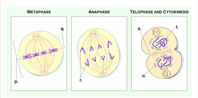 Parent cells before division are diploid or