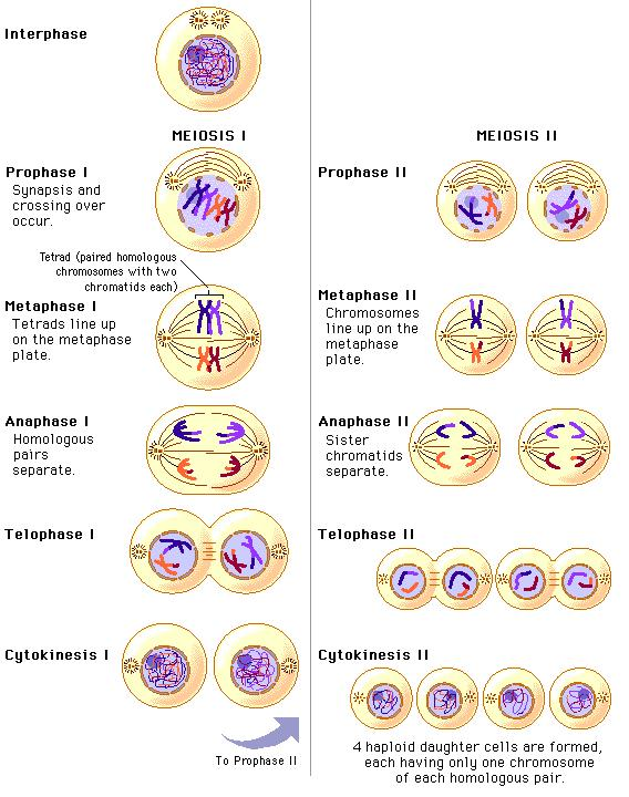 Key Concepts II: Meiosis Meiosis follows phases similar to those in mitosis, but the outcome of the process is very different.