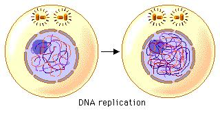 The Cell Cycle Though we frequently use the term mitosis to refer to the overall process of cell division, mitosis is actually only one phase of the cell cycle.