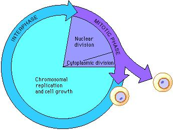 Interphase Most of the cell cycle is spent in interphase. During interphase the cell is growing and metabolic activity is very high.