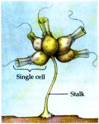 Animals evolved from Choanoflagellate Ancestors Campbell Fig. 18.