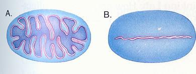 7. Investigate the pictures below. What is the advantage of having folded membranes in a cell? (hint: estimate the length of the surface area of each membrane.) 8.