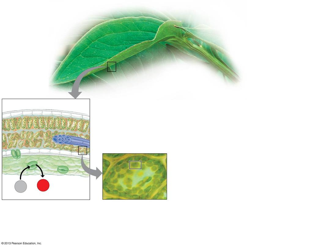 Chloroplasts: Sites of hotosynthesis 0 Chloroplasts: Sites of hotosynthesis Chloroplasts are the site of photosynthesis and found mostly in the interior cells of leaves.