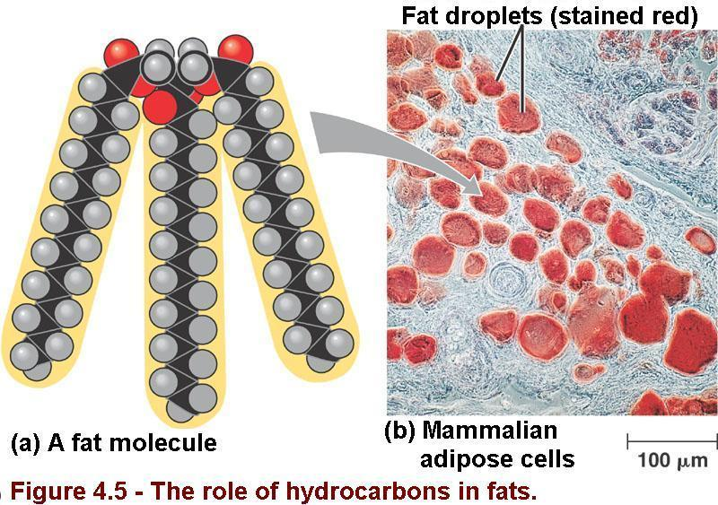 7 The Role of Hydrocarbons in Fats a) A fat molecule consists of a small, non-hydrocarbon component joined to three hydrocarbon tails. The tails can be broken down to provide energy.