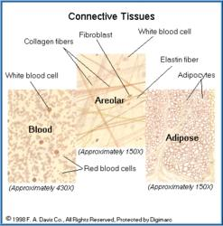 5. Connective tissue cells: Specialized cells; fibrous in nature; form