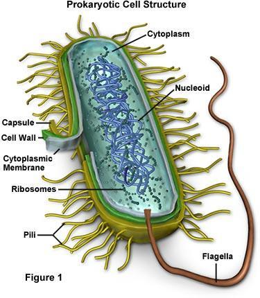C. Types of Cells 1. Prokaryotic cells (primitive, simpler): a. Example: bacteria b. Smallest cells: 1-10µm (in diameter) i. µ (micro)=10-6 c. NO membrane bound organelles d.