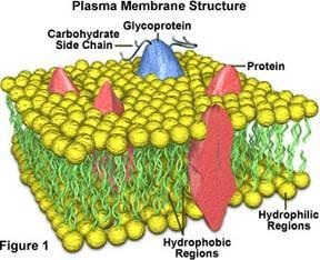 proteins that determine what goes in/out of the cell