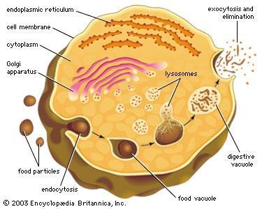 Found in: plants, animals, protists, fungi 11) Lysosome: a.