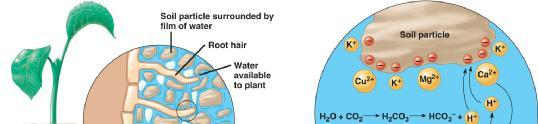 35.3 Epidermis absorbs water and