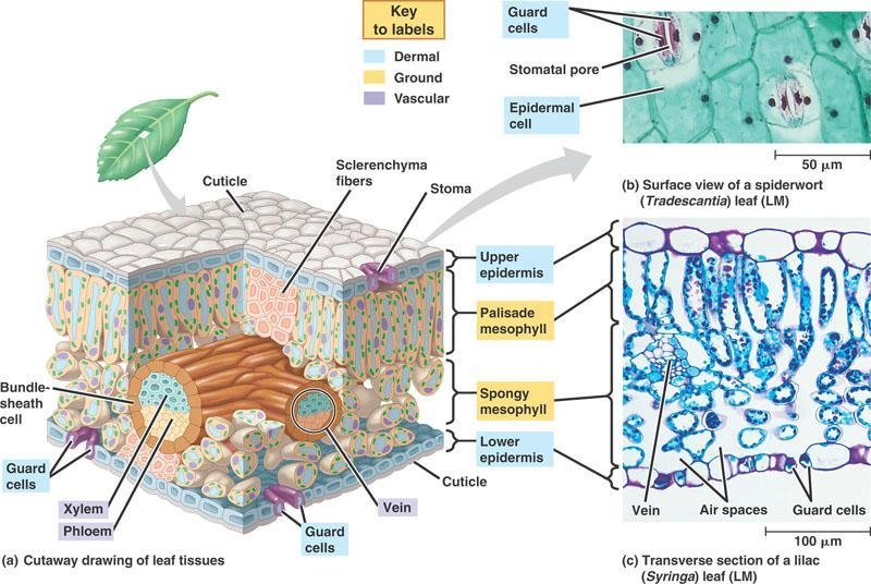 Leaf internal structure tissues