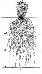 (130 times shoot) Fig. 44.--Top view of surface roots of Comanche cactus (Opuntia camanchica).