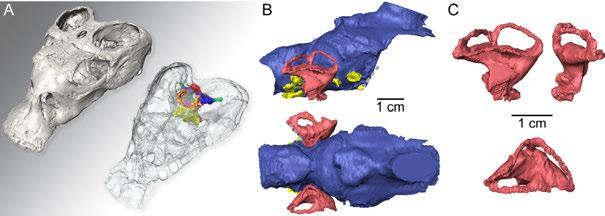8.2 Comparative skull anatomy of placodonts (Diapsida: Sauropterygia) using μct scanning - implications for palaeobiogeography and palaeoecology Neenan James M. & Scheyer Torsten M.