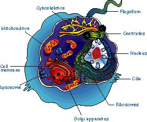 Eukaryotic Cell Has true nucleus (double membrane bound organelle) contains