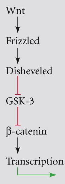 receptor family - activates Disheveled - Disheveled blocks GSK-3 - -catenin released from APC - enters nucleus - associates with LEF/TCF