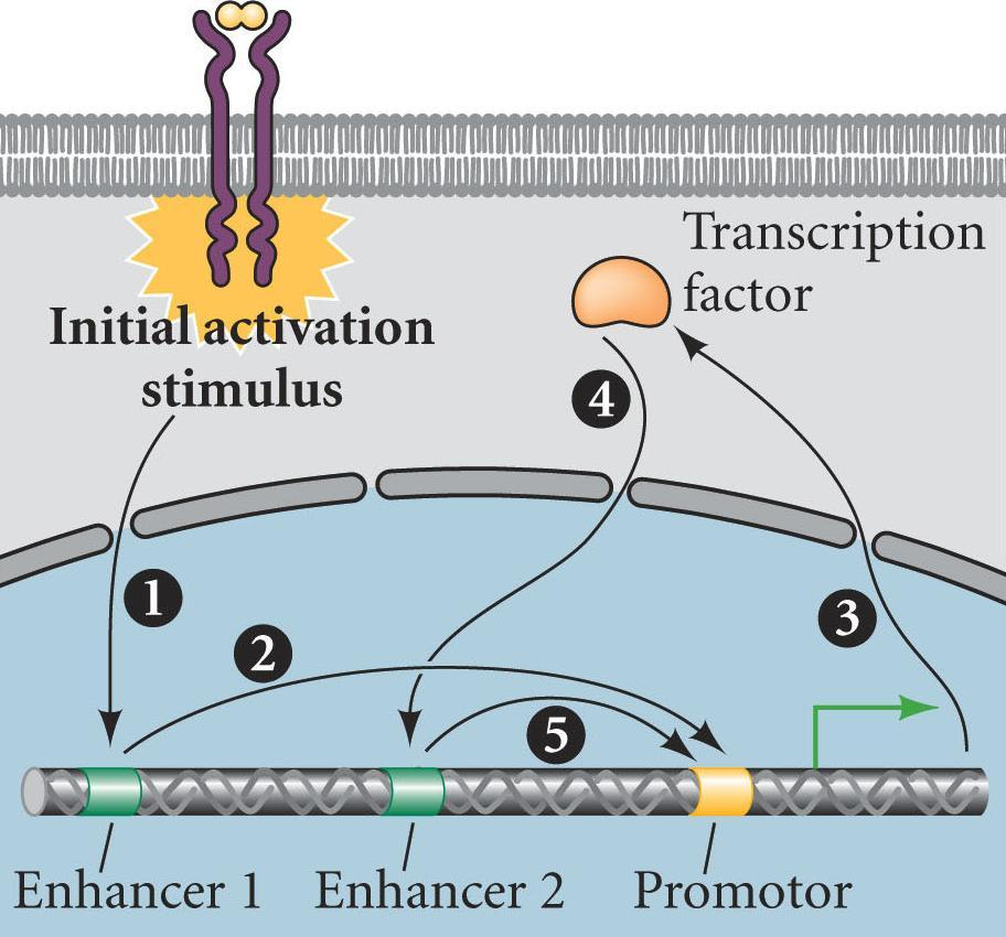 Maintaining Differentiation - 1 1) Activating signal initiates production