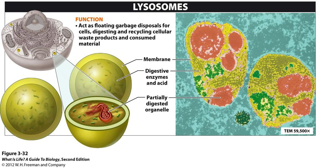 3.16 Lysosomes are the
