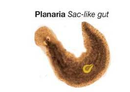 The Gut The gut is the digestive tract. It enables an animal to digest food outside of its cells.