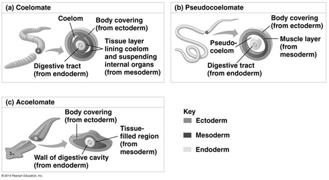 Protostome and Deuterostome Development Based on certain features seen in early development many animals can be categorized as having one of two developmental modes: protostome