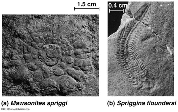 Neoproterozoic Era (1 Billion 524 Million Years Ago) Early members of the animal fossil record include the Ediacaran fauna 13 Paleozoic Era (542 251 Million Years Ago) The Cambrian explosion marks
